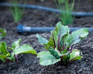 Beets in the Garden